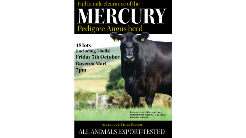 mercury angus herd